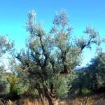 Greek tree